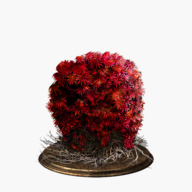 bloodred-moss-clump-dish-small.jpg